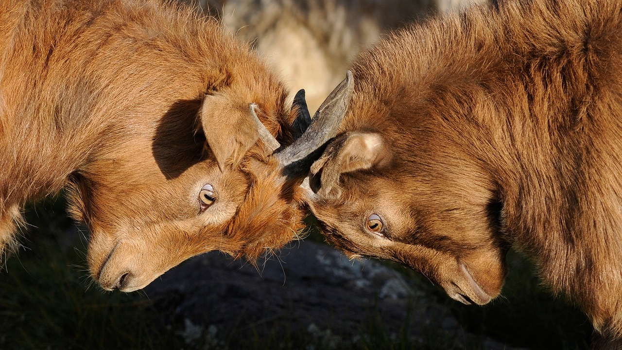 Competição Cabras
