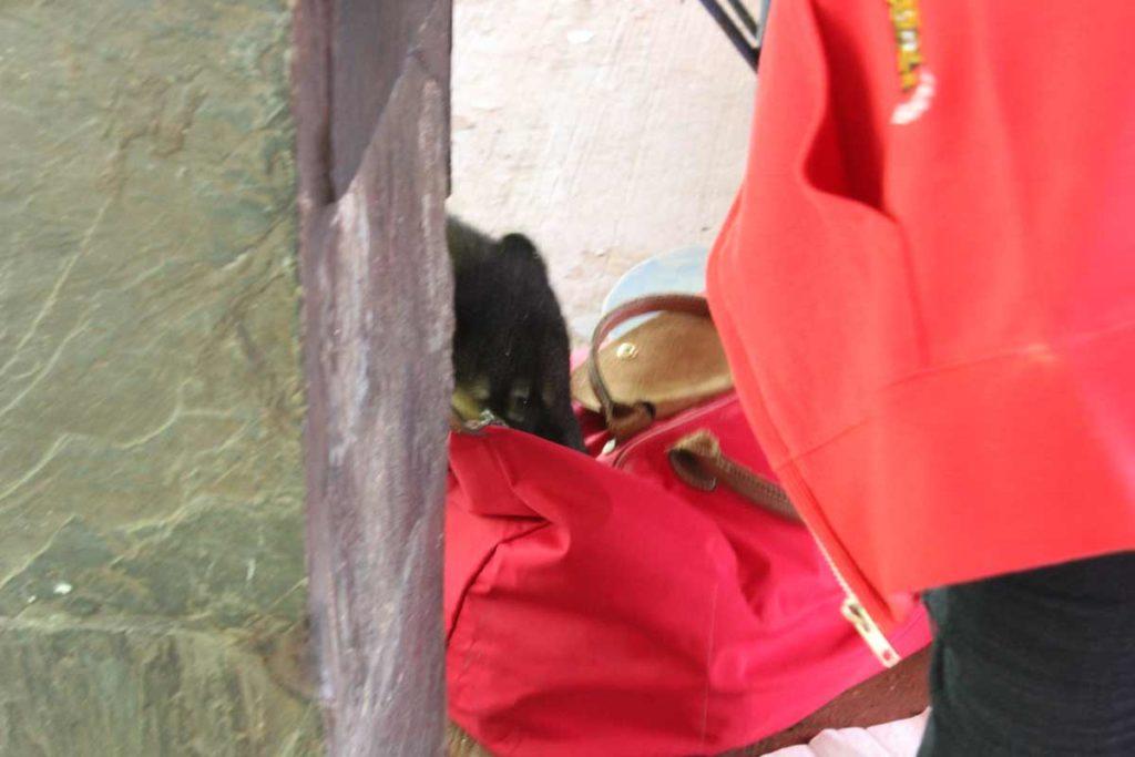 quati tenta entrar em uma bolsa vermelha para procurar comida em foz do iguacu