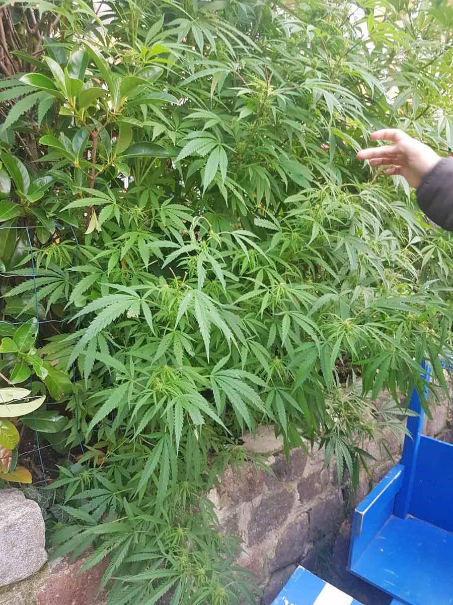 plantacao de maconha em christiania, em copenhague