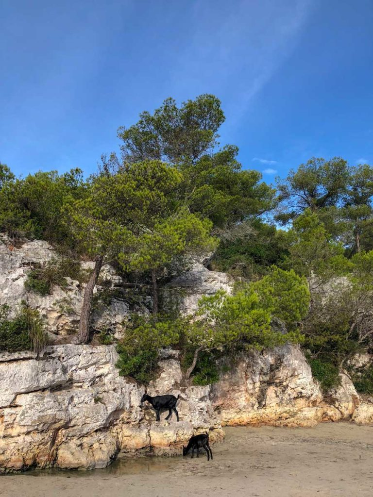 cabras na praia de cala en turqueta em menorca