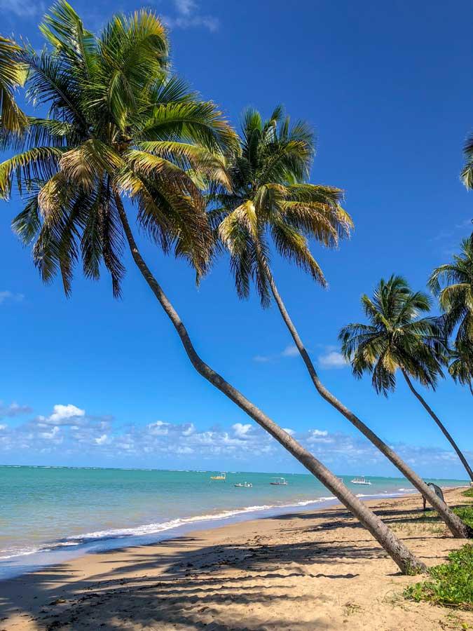 coqueiros envergados na praia do patacho em alagoas