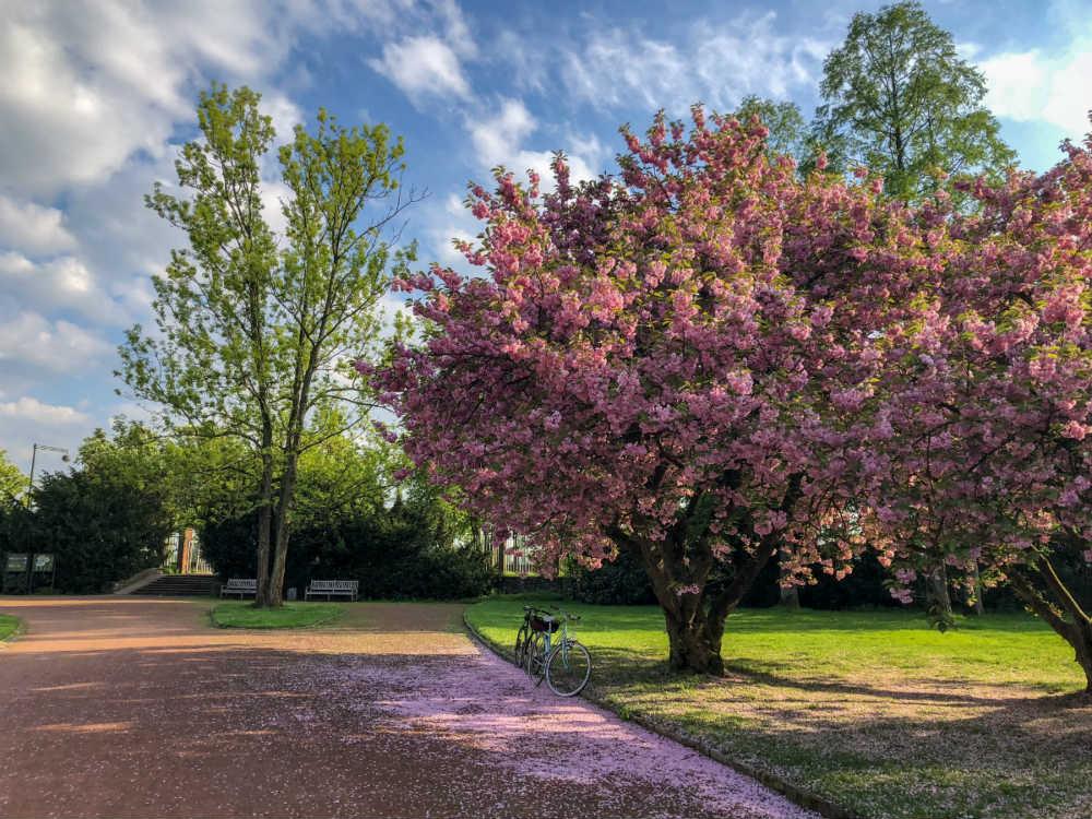 Cerejeira florida parque Dusseldorf Alemanha